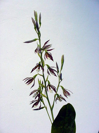 little_orchid
