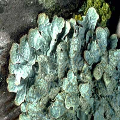 shield_lichen_parmelia