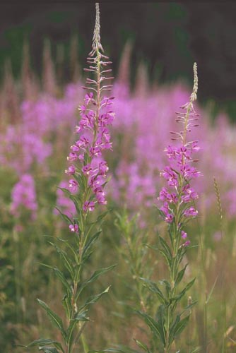 willow-herb_large